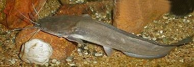 the characteristics of the walking catfish one of floridas invasive speecies The characteristics of the walking catfish, one of florida's  walking catfish, florida invasive speecies, clarias  view other essays like this one: company.