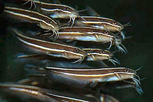 Αποτέλεσμα εικόνας για Plotosus lineatus,