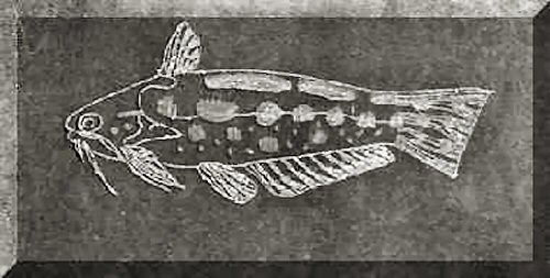 Trachelyichthys decaradiatus (Glass etching)